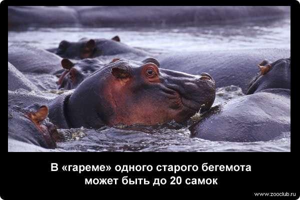 В гареме одного старого бегемота может быть до 20 самок