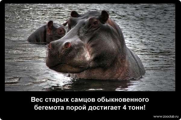 Вес старых самцов обыкновенного бегемота порой достигает 4 тонн