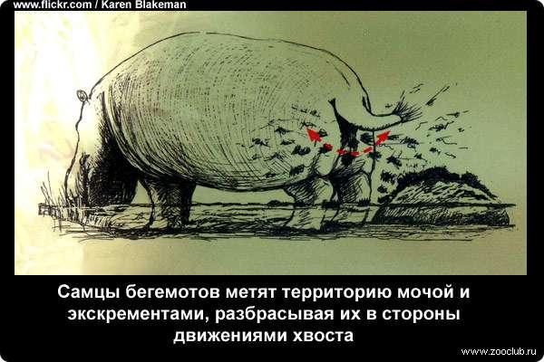 Самцы бегемотов метят территорию мочой и экскрементами, разбрасывая их в стороны движениями хвоста