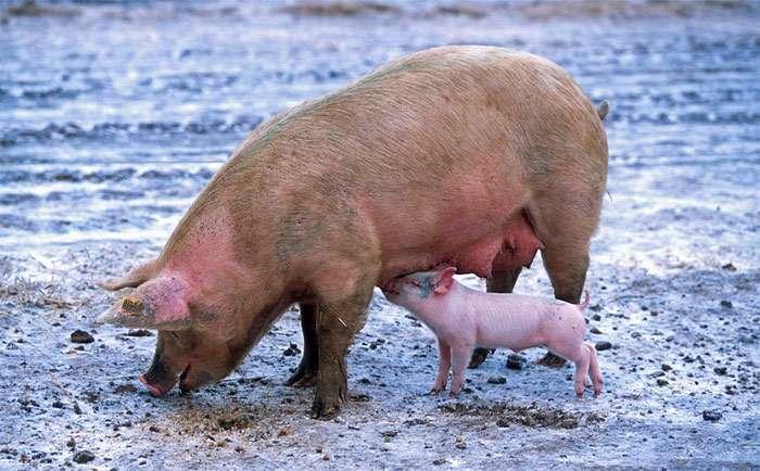 У свиней есть собственная речь, и ученые выявили более 20 разных стандартных звуков, которые обозначают желание, ту или иную эмоцию