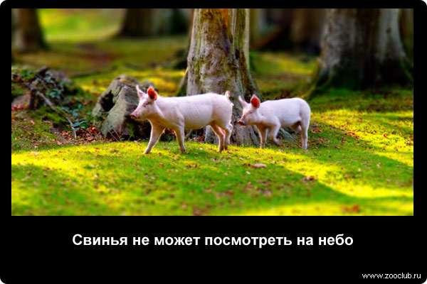 Свинья не может посмотреть на небо