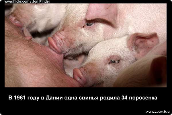 В 1961 году в Дании одна свинья родила 34 поросенка