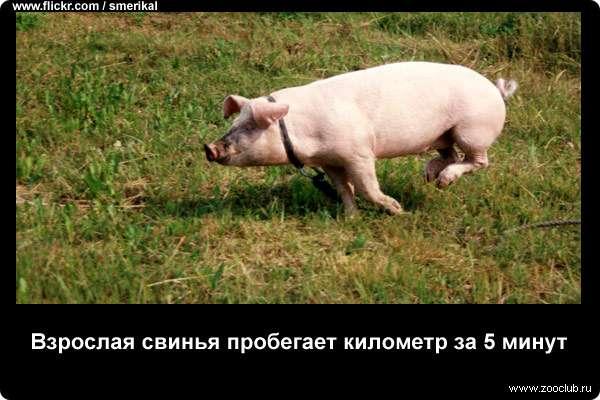 Взрослая свинья пробегает километр за 5 минут