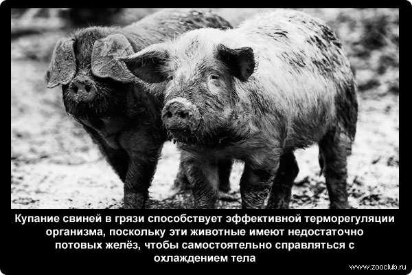 Купание свиней в грязи способствует эффективной терморегуляции организма, поскольку эти животные имеют недостаточно потовых желёз, чтобы самостоятельно справляться с охлаждением тела