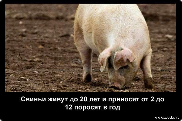 Свиньи живут до 20 лет и приносят от 2 до 12 поросят в год