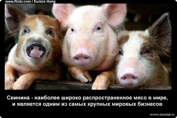 Свинина - наиболее широко распространенное мясо в мире, и является одним из самых крупных мировых бизнесов