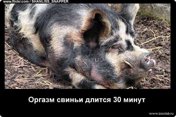 Оргазм свиньи длится 30 минут
