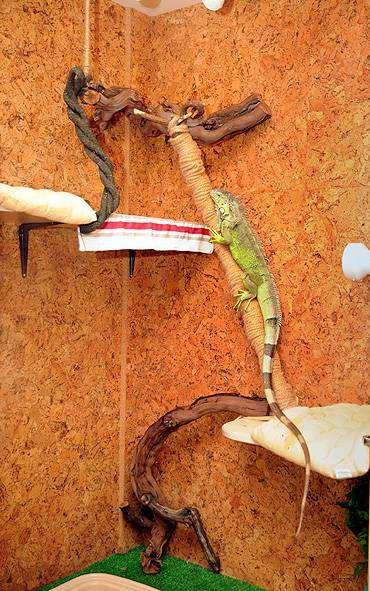 Зеленая игуана (Iguana iguana) в вольере, фото рептилии содержание изображение