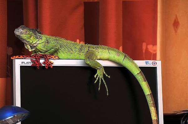 Зеленая игуана (Iguana iguana), фото содержание игуан фотография
