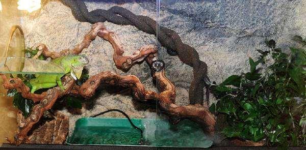 Террариум для зеленой игуаны, фото содержание рептилий фотография