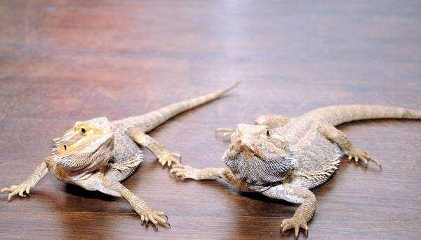 Бородатые агамы (Pogona vitticeps), фото рептилии фотография