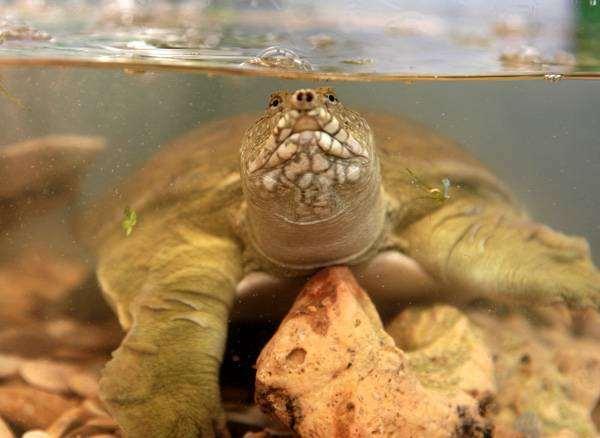 Дальневосточная черепаха, или китайский трионикс (Trionyx sinensis), фото рептилии фотография