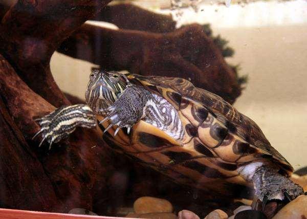 Красноухая черепаха (Chrysemys scripta), фото содержание черепах рептилий фотография