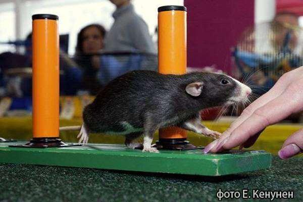 Декоративная крыса, фото болезни грызунов фотография