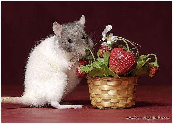 Декоративная крыса, фото содержание крыс фотография