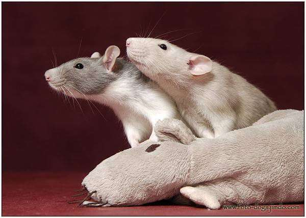 Декоративные крысы, фото грызуны изображение