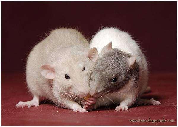 Декоративные крысы, фото содержание грызунов фотография