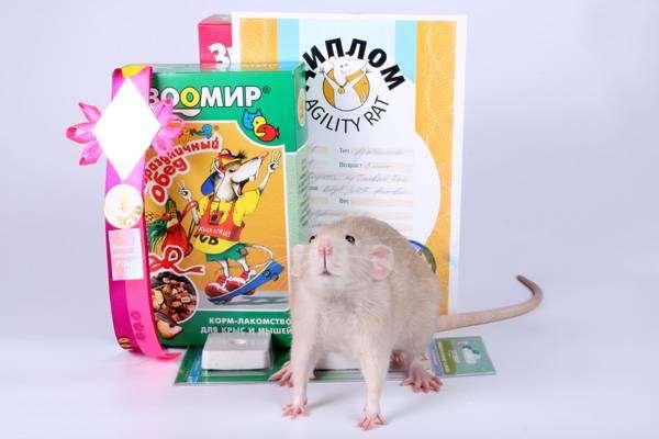 Декоративная крыса, фото изображение содержание грызунов картинка