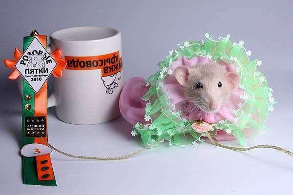 Декоративная крыса, фото содержание грызунов фотография