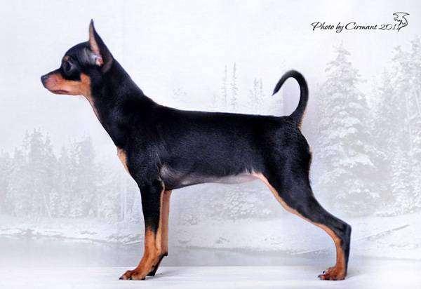 Гладкошерстный той-терьер, фото собаки породы собак фотография
