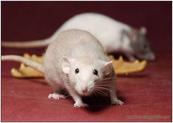 Декоративные крысы, фото изображение грызуны фотография