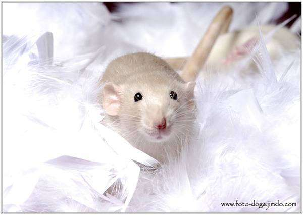 Декоративная крыса, фото болезни крыс фотография