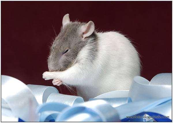 Декоративная крыса, фото крысы уход фотография