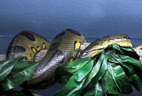 Анаконда (Eunectes murinus), фото интересно о рептилиях фотография