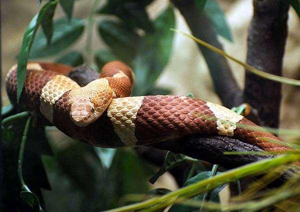 Медноголовый, или мокасиновый щитомордник (Agkistrodon contortrix), фото змеи рептилии фотография