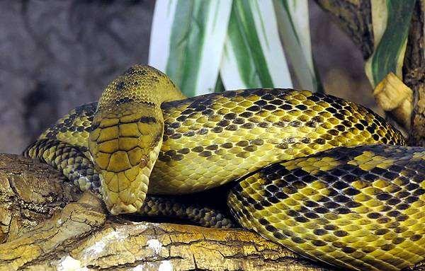 Аметистовый питон (Morelia amethistina), фото змеи фотография