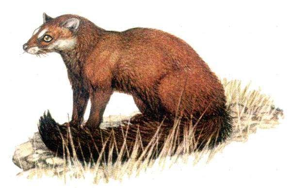 Водяная генетта (Genetta [Osbornictis] piscivora), рисунок картинка хищные животные виверровые