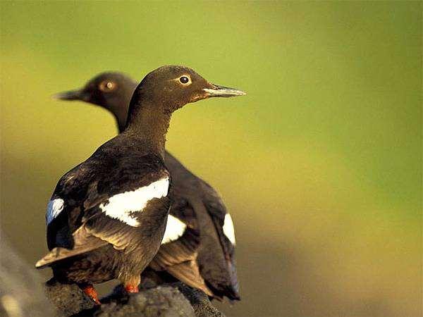 Очковый чистик (Cepphus carbo), фотография ржанковые птицы картинка фото