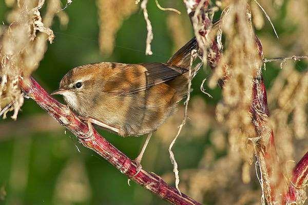 Широкохвостка, или соловьиная камышовка (Cettia cetti), фото ржанки птицы фотография