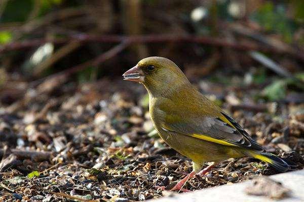 Зеленушка (Chloris chloris), фото птицы фотография