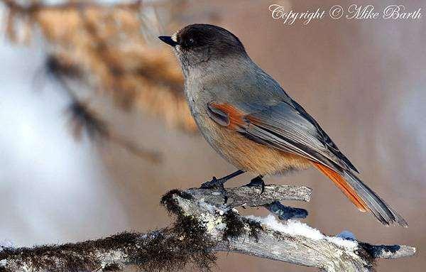 Кукша (Perisoreus infaustus), фото врановые птицы фотография
