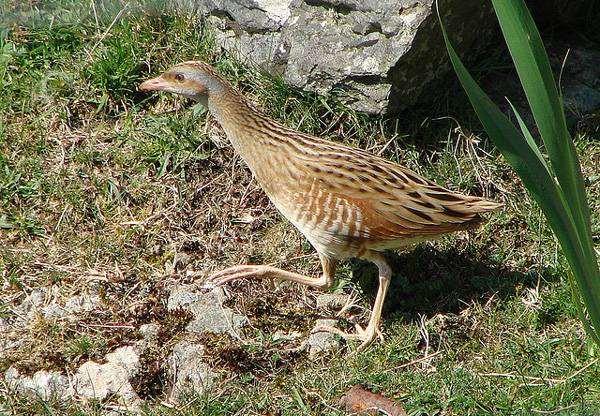 Коростель, или дергач (Crex crex), фото птицы фотография