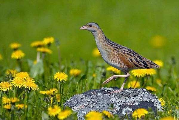 Коростель, или дергач (Crex crex), фото изображение птицы фотография