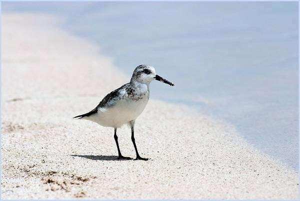 Песчанка (Crocethia alba), фото бекасовые птицы фотография