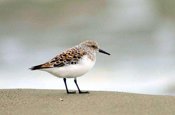 Песчанка (Crocethia alba), фото ржанкообразные птицы фотография изображение