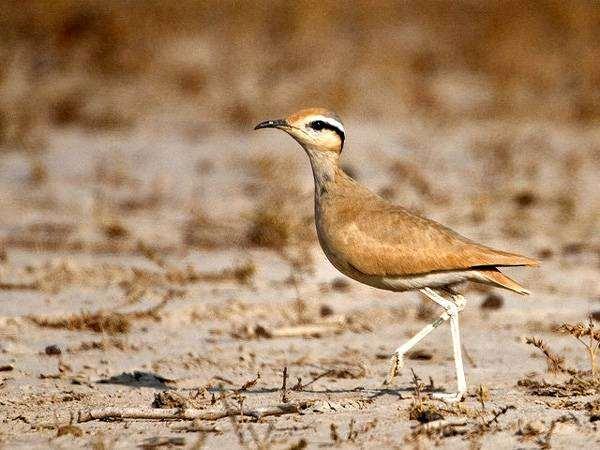 Бегунок (Cursorius cursor), фото ржанки птицы фотография