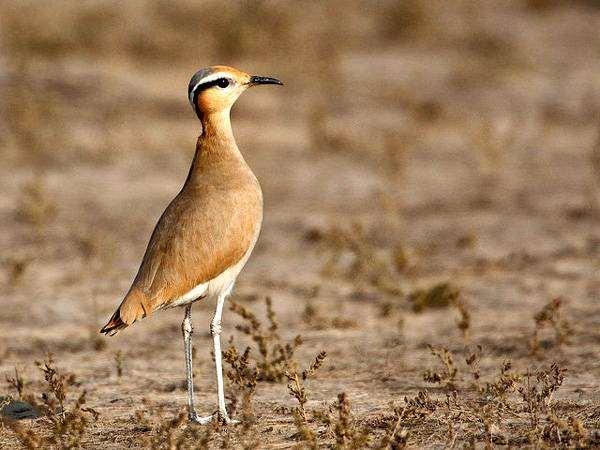 Бегунок (Cursorius cursor), фото птицы фотография изображение