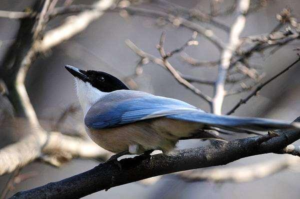 Голубая сорока (Cyanopica cyana), фото врановые птицы фотография