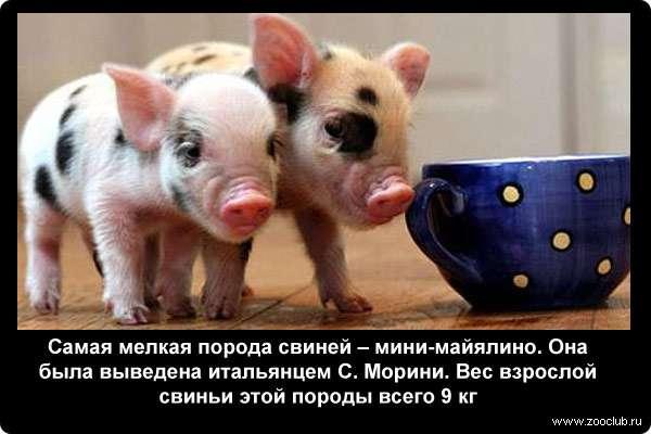 Познавательные факты о свиньях фото любопытные факты про домашнюю  Факты о свиньях
