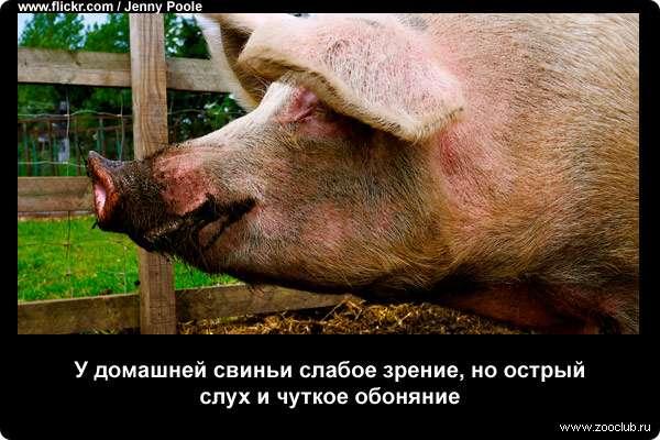 Факты о свиньях фото шокирующие факты о домашних свиньях в  Факты о свиньях