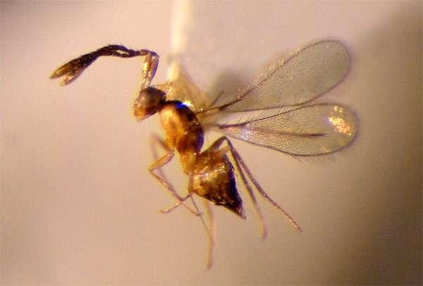Паразитическая оса Tinkerbella nana, фото фотография насекомые