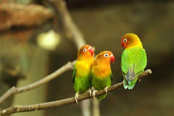 Попугаи неразлучники, фото фотография здоровье птиц