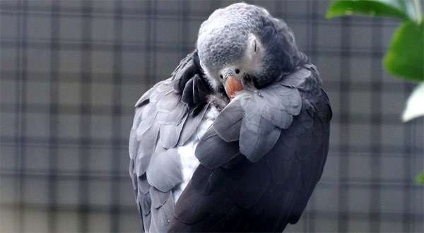 Спящий попугай жако, фото фотография здоровье птиц