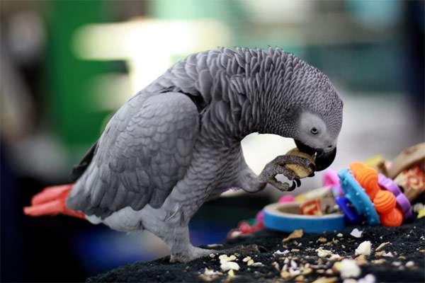 Попугай жако, фото фотография здоровье птиц
