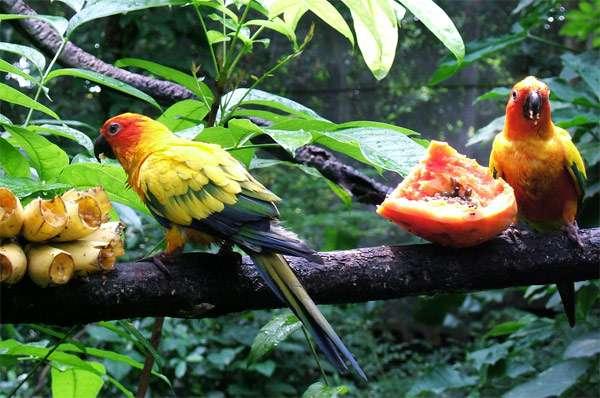 Солнечные аратинга (Aratinga solstitialis) едят фрукты, фото фотография птицы