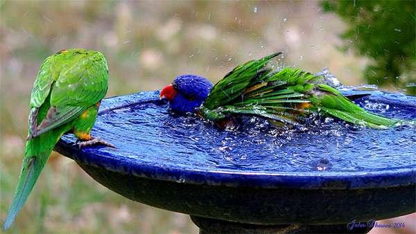 Купающиеся попугаи, фото фотография птицы
